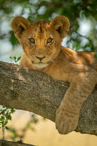 Fotografija Close-up of lion cub on branch relaxing