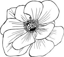 Black And White Flower Of Anem...