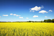 Leinwandbild Motiv Blooming yellow rapeseed field against clear blue sky, Estonia. Idyllic rural scene. Agricultural, biotechnology, fuel and food industry, alternative energy, environmental conservation and production