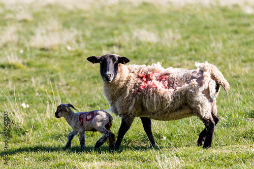 Baby spring lamb following after its mother in a Suffolk farm field Fototapete