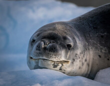 Leopard Seal In Antarctica (Hydrurga Leptonyx)