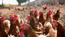 Poules Pondeuses Dans Un élevage En Plein Air.