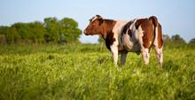 Bœuf Dans Une Prairie Verte, Race à Viande, Rouge Des Prés.