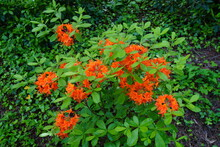 Fiery Orange Deciduous Azalea Flowers