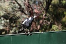 An Australian Magpie  Bird, Cr...