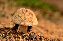 Amanita Rubescens Mushroom In ...