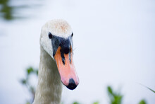 Up Close Front Head Of Swan