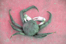 Frehly Caught Crab In Pink Bac...