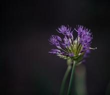 Blooming Onion Plant. Flower Decorative Onion. Close-up Of Onions Flowers. Allium Flower (allium Giganteum). Onion Flowers On Dark Background.