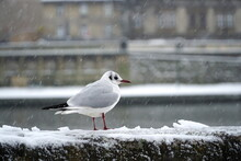Common Gull Sits On A Concrete Embankment Fence In The Snow In Winter.