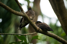 Common Mynas Are Also Called I...