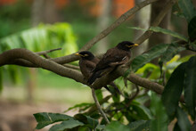 Common Mynas Are Also Called Indian Mynas. They Are Medium Sized Bird, Found With A Brown Body, An Yellow Beak And Eye Patch. They Capable Of Both Speaking And Singing.