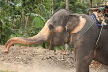 Side View Photo Of A Young Grey Elephant With Yellow Pigmented Skin, Big Ears, Open Mouth And A Long Truck On A Jungle Background With Sand, Trees, Leaves, Dry Grass And Branches. Taken In Thailand