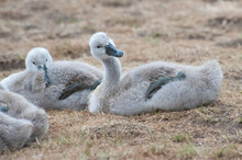 Quirky Posturing From Young Cygnet Whilst The Brood Sleeps