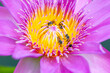 canvas print picture - lotus flower with honey bee. Closeup focus of a beautiful pink lotus flower with bee collecting honey,Soft focus,