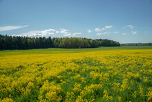Field With Yellow Flowers Near The Forest And Blue Sky
