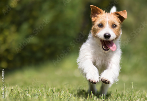 Photo Funny playful happy crazy jack russell terrier smiling cute pet dog puppy runnin