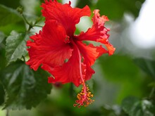 Close Up Of One Blooming Red Hibiscus Flower With Green Blurry Leaves In The Background