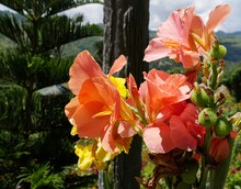 Close Up Of Orange And Yellow Canna Lily Flowers In The Garden
