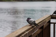 Pigeon Sleeping On Wooden Fenc...