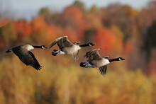 Canada Geese In An Autumn Migr...