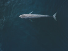 Big Blue Whale Captured In Sou...