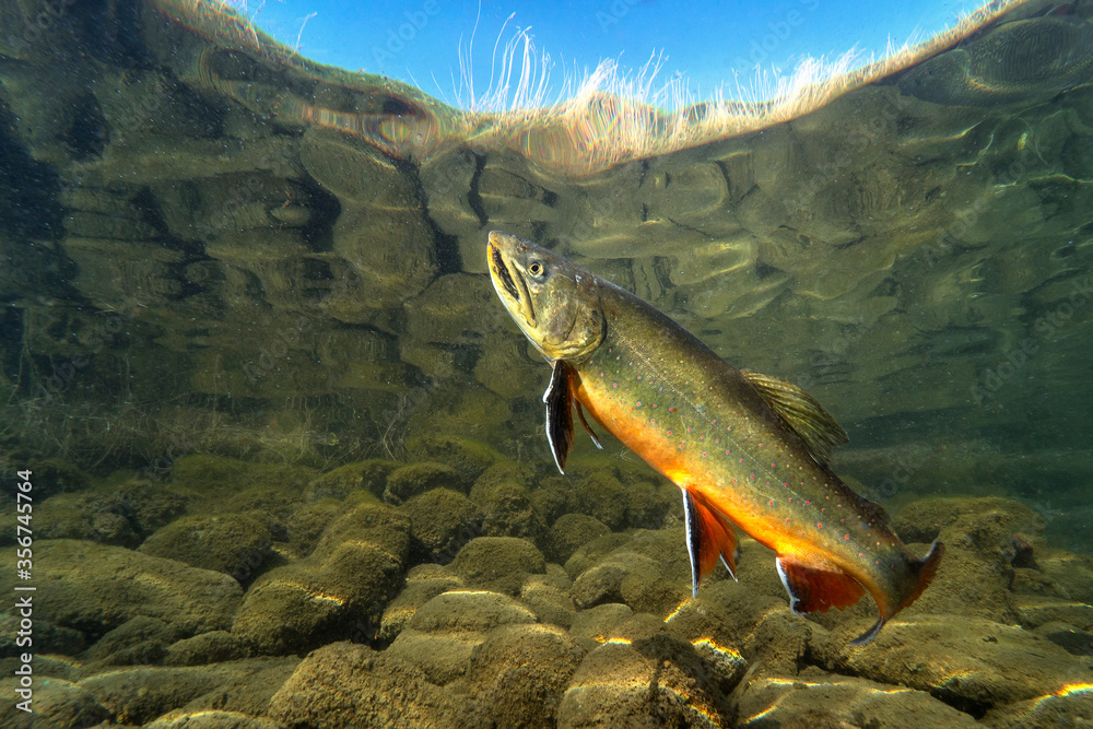 Fototapeta Big Brook trout (Salvelinus fontinalis) swimming in nice river. Beautiful Brook charr close up photo. Underwater photography in wild nature. Mountain creek habitat.
