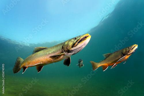 Vászonkép Big Brook trout (Salvelinus fontinalis) swimming in nice river