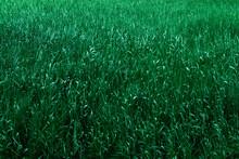 Beautiful Green Field Grass La...
