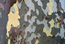 Bark Of A Tree On The Trunk During Autumn With Irregular Colorful Shapes Like A Camouflage Military Cloth