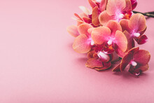 Orange Phalaenopsis Orchid Plant Or Moth Orchid In Vase On Pink Background