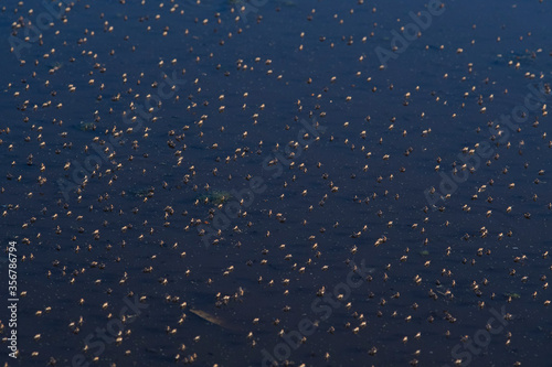 Valokuva Shore flies, dipterans of the Brachydeutera genus, in a pond.