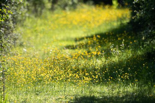 Photo Meadow buttercup (Ranunculus acris)