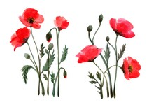 Watercolor  Red Flowers Poppy