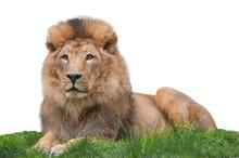 Lying Lion Isolated On White B...