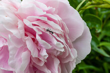 Pink Peony Blossom And Ant Wit...