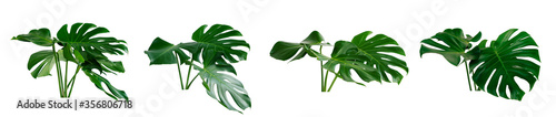 Obraz collection of green monstera tropical plant leaf on white background for design elements, Flat lay,clipping path  - fototapety do salonu