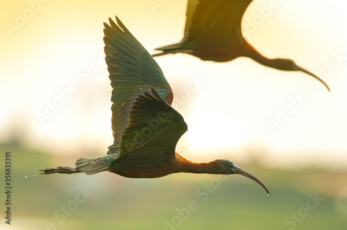 Photo Silhouette of a black-tailed Ibis flying in the evening