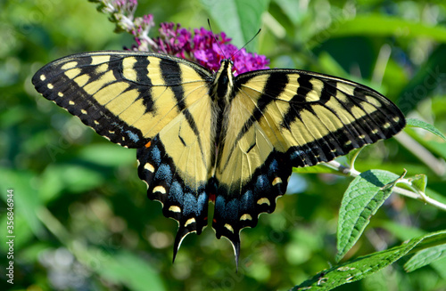 An Eastern Tiger Swallowtail Butterfly (Papilio glaucus) sipping nectar from the flowers of a purple Butterfly Bush (Buddleia davidii).  Closeup.