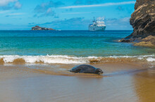 A Galapagos Sea Lion (Zalophus Wollebaeki) A Sandy Beach With A Cruise Ship In The Background, Galapagos Islands, Ecuador.