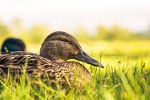 Wild Duck Closeup. Female Mall...