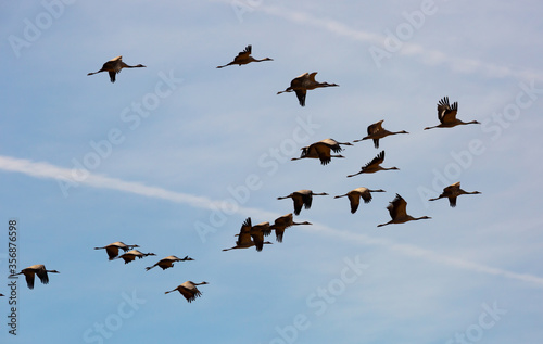 Photo Large flock of cranes flying in sky