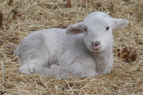 Fototapeta A young lamb is lying in the straw. Up close.  obraz
