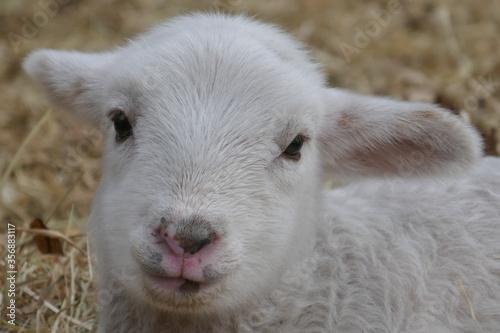 Fototapeta The head of a lamb looking straight into the camera. obraz
