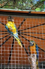 Caged Blue And Yellow Macaws (Parrot Psittacines), Spain.