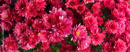 Fototapeta Close-up chrysanthemum red holiday flowers banner texture background
