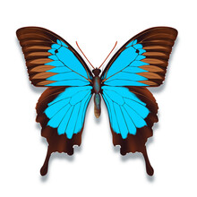 The Blue Emperor Butterfly Or Papilio Ulysses In Blue And Black Colours On White Background