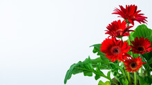 Red Flower With White Background