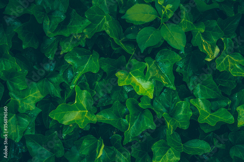 Lush green background with ivy leaves Slika na platnu
