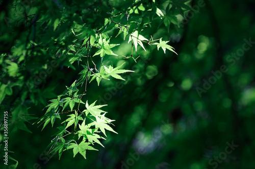 Fototapeta そよ風で揺れる鮮やかな青紅葉【高取城跡-5月】 obraz